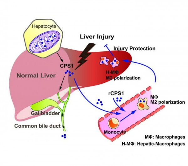 A Tiny Cry For Help From Inside The Liver Could Lead To